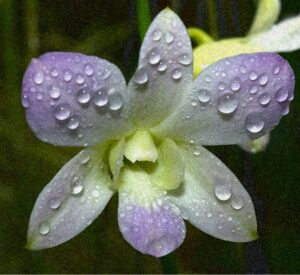 Purple-Orchid-with-Dew-new