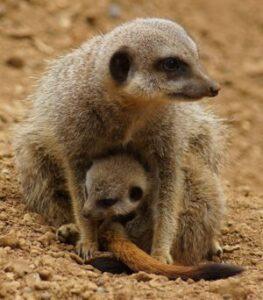 Meerkat Mother
