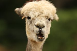 alarmed alpaca